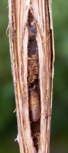de larve van de Sigarenmaker